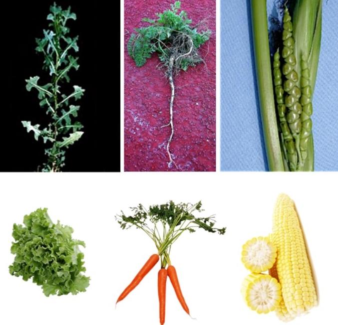 Aspecto de los ancestros de la lechuga, zanahoria y maíz comparado con las variedades modernas. (Vía El Efecto Rayleigh)