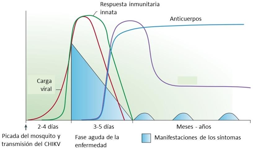 Fases de  la fiebre chikungunya (modificado de Schwartz & Albert, 2010)