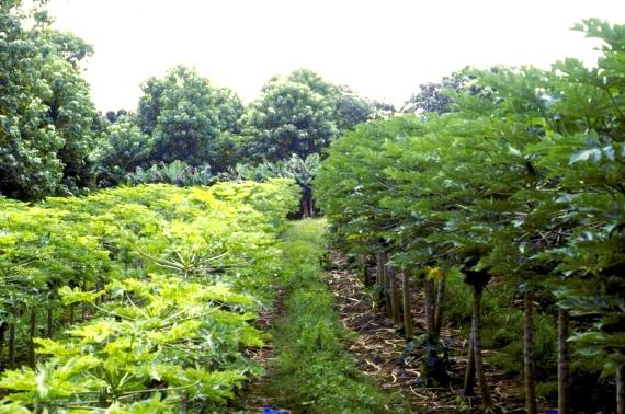 Campo de experimentación de la papaya transgénica hawaiana. A la izquierda, plantas infectadas. A la derecha, plantas transgénicas resistentes.