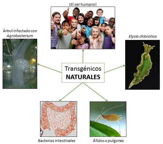 Transgénicos naturales
