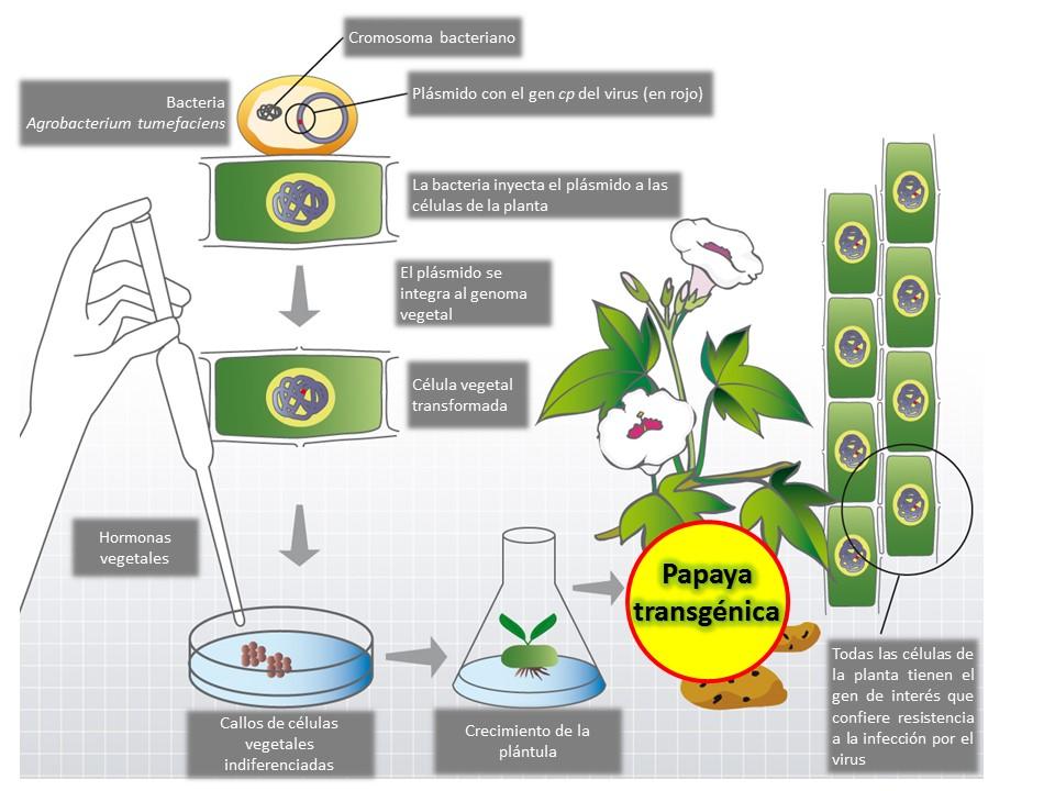 Obtención de plantas transgénicas por transformación con Agrobacterium