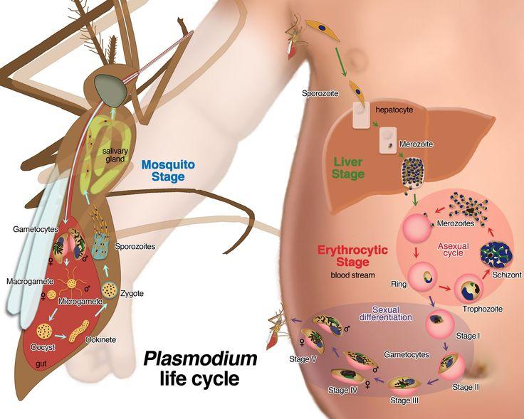 ciclo plasmodium malaria felix moronta