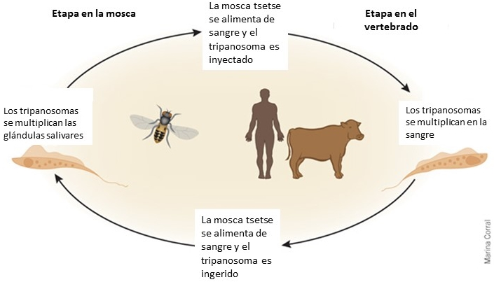 trypanosomas africa felix moronta