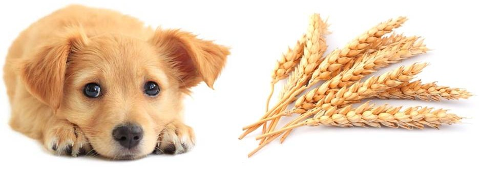 crispr perro trigo felix moronta