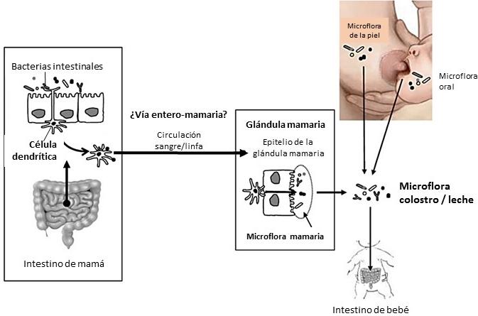 lactancia materna microbioma