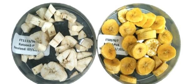 Plátanos biofortificados para África