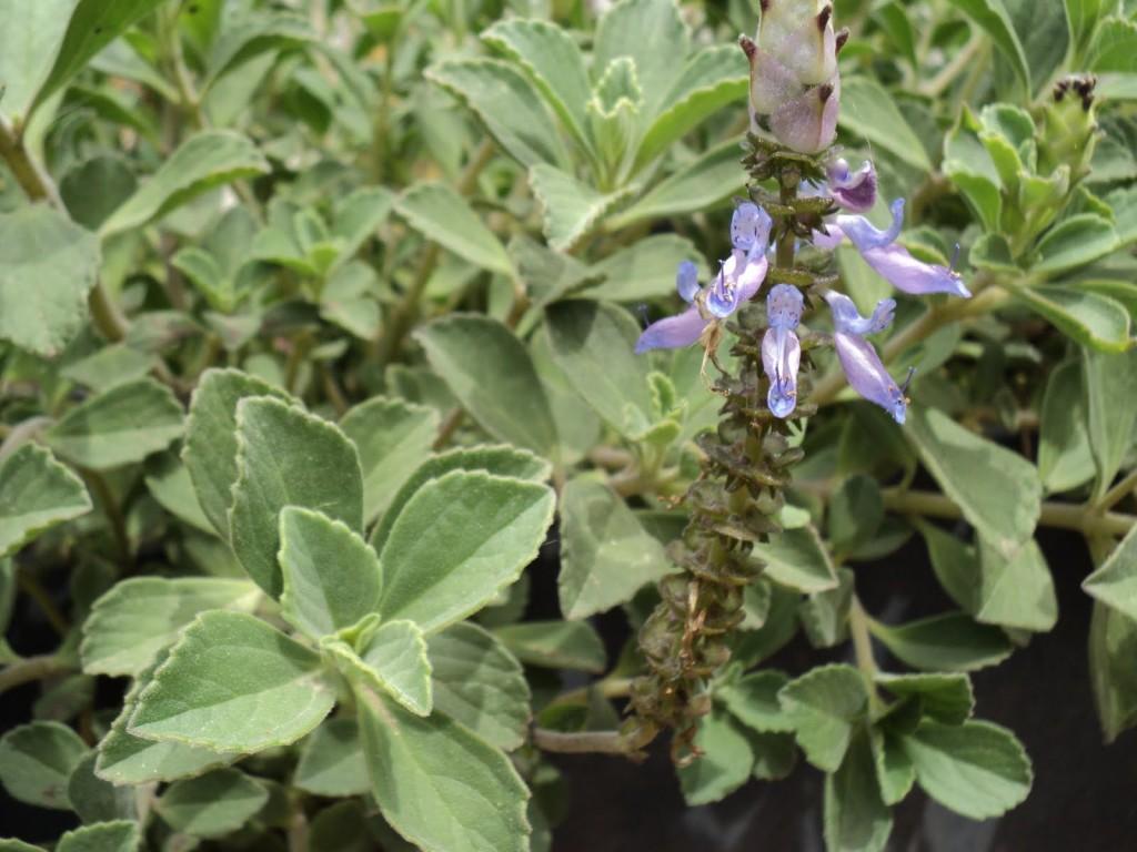 plectranthus acetaminofen felix moronta