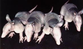 Las armadillas paren a cuatro gemelos idénticos, clones entre sí.