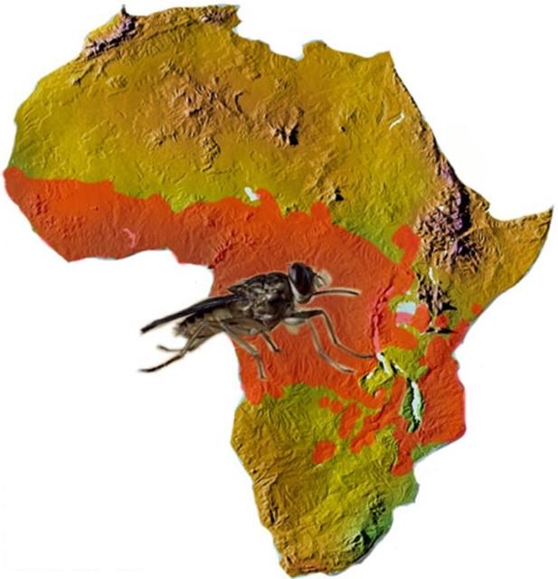 Mosca tsetse africa felix moronta