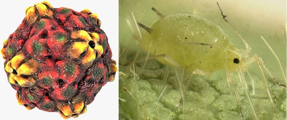 IZQ, representación del virus de la mancha anillada (causante de la principal enfermedad de los cultivos de lechosa). DER, un áfido o pulgón (insecto que transporta al virus)